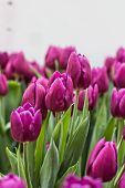 Постер, плакат: A Lot Of Tulips At An Exhibition Of Flowers
