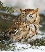 stock photo of screech-owl  - Eastern screech owl in winter - JPG