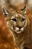 Animal Cougar Fall poster