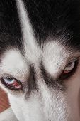 Muzzle Blue-eyed Siberian Husky Close-up. Husky Dog Looks Sideways, Putting His Head On His Paws. To poster