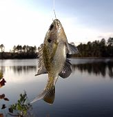 foto of bluegill  - Brim hanging from a fishing line with lake in background - JPG