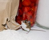 A Guilty Brown House Mouse, Mus Musculus, Standing On His Haunches In Front Of A Ripped Paper Bag Sp poster