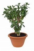 Dollar Plant (Crassula Ovata) Known Also As Jade Or Money Tree poster