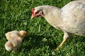 stock photo of hatcher  - White broody hen is taking care of young chicks - JPG