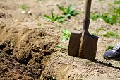 Farmer Digging In The Kitchen Garden With A Spade. Preparing Soil For Planting In Spring. Gardening. poster