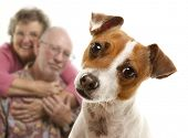 stock photo of adoration  - Adorable Jack Russell Terrier and Adoring Senior Couple Behind Isolated on a White Background - JPG
