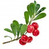 pic of bearberry  - Bearberry  - JPG