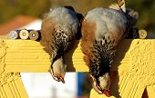 Two Abated Partridges poster