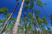 pic of saw-palmetto  - The beautiful pine flatwoods of central Florida on a sunny day - JPG