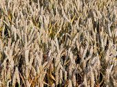 Постер, плакат: Пшеница почти созрела