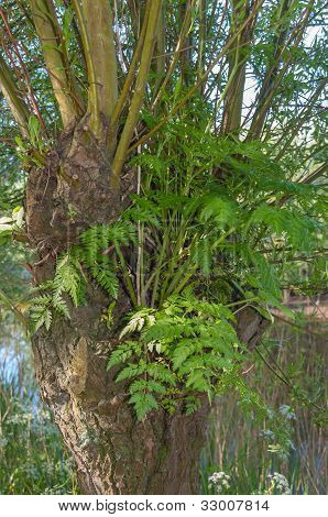 Closeup Of An Epiphytic Fern Growing On A Willow