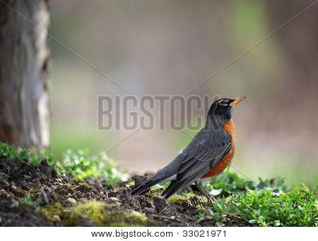 Small Robin bird under the tree