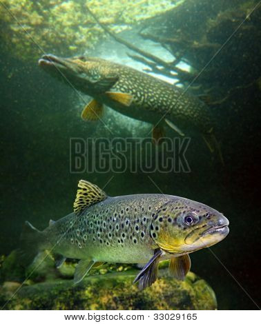 The brown trout (Salmo trutta) and a big pike (Esox lucius) in a mountain lake. Close up with shallow DOF.