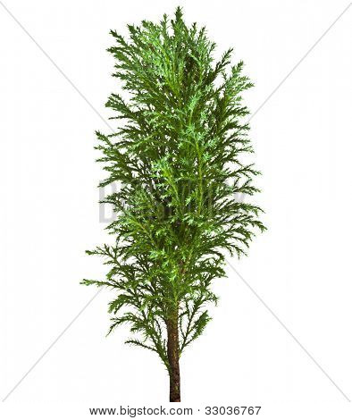 Decorative Conifer Sapling Tree Isolated on a white
