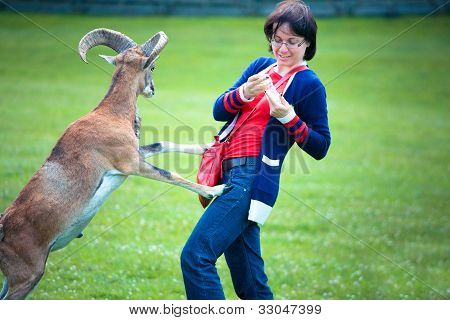Attractive young woman feeding a goat