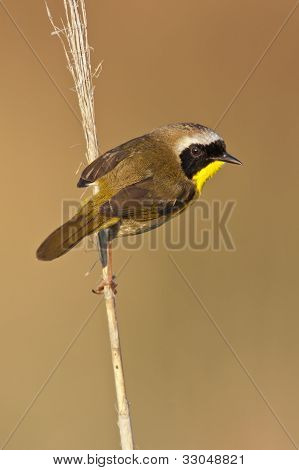 Warbler Common Yellowthroat