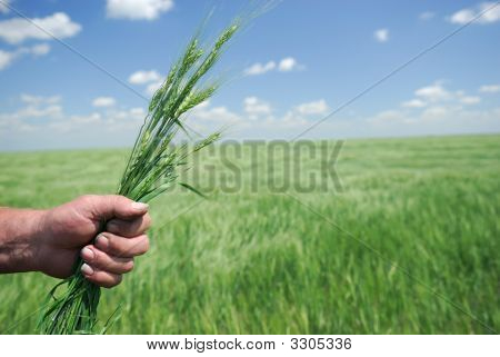 Winter Wheat In Hand Of Farmer