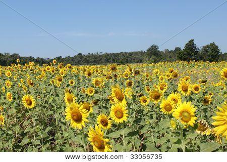 Gran campo de girasoles. Composición de la naturaleza.