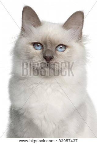 Portrait of Birman cat, 5 months old, in front of white background
