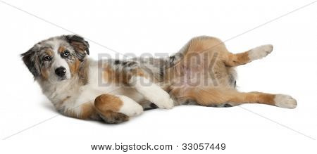 Portrait of Puppy Australian Shepherd playing, 5 months old, in front of white background