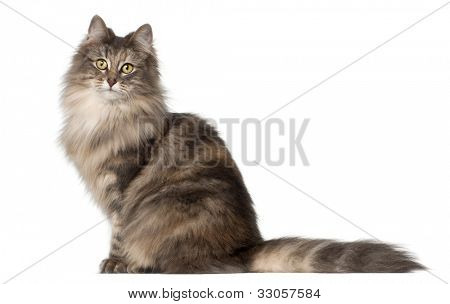 Norwegian Forest Cat, 1 and a half years old, sitting in front of white background