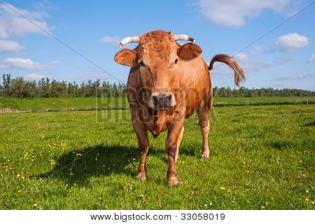 Horned Brown Cow Is Wagging Her Tail