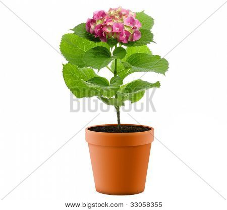 Purple Hydrangea Flower In A  Flower Pot On White Background