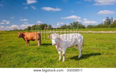 Brown And White Cows Standing In A Sunny Meadow