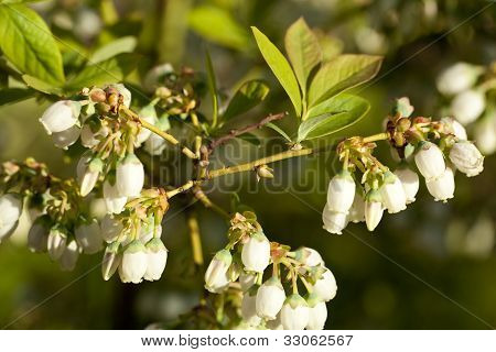 Flower Of Blueberry