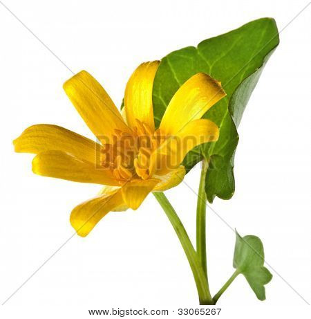 Blossom flower of Lesser celandine ( Ficaria Verna ), isolated on white