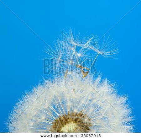 Löwenzahn auf blauem Hintergrund