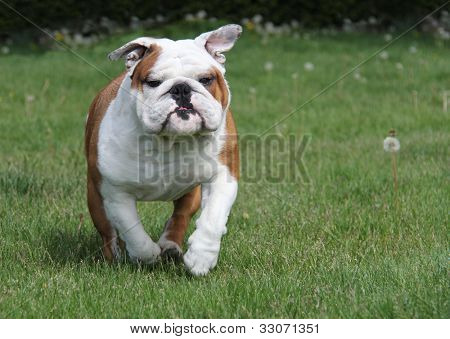 dog running in the grass - english bulldog 2.5 years old