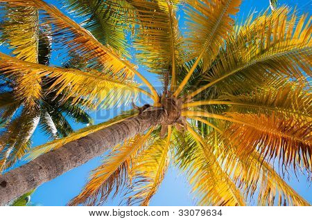 Palm Tree Ideal In The Caribbean
