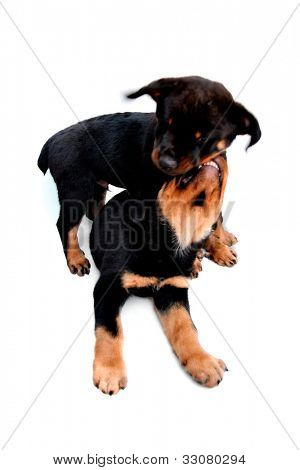 Rottweiler puppies playing a great image for your job.