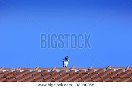 Animal theme: Pigeon on roof - Horizontal scene