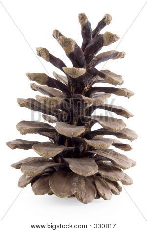 Cone Pine