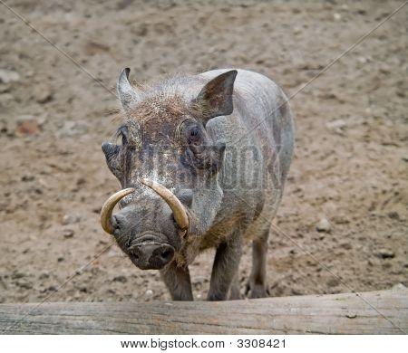 Wart-Hog