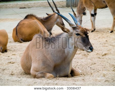 The African Antelopes