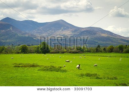 Sheep and rams in Killarney mountains, Ireland