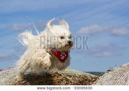 flying Havanese