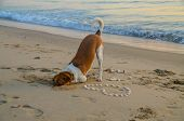 Canine Activities. Atractive Colourful Dog Portrait On A Ocean Beach Digging A Hole In The Sand. Tha poster