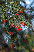 European Yew Or Simply Yew, Red Ripe Poisonous Berries On A Branch Of A Bush,taxus Baccata European poster