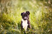 Playful Puppy Sitting On A Green Gras In A Beautiful Sunset In A City Park. Border Collie Puppy Sitt poster