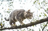 Gray Tabby Kitten Balances On A Branch poster