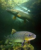 stock photo of freshwater fish  - The brown trout  - JPG