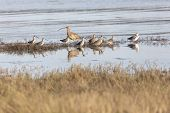 Long-billed Curlew, Long-billed Dowitcher, Greater Yellowlegs At South Surry  British Columbia Canad poster