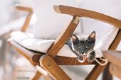 Funny Gray Kitten With White Feet Hanging From Armchair And Yawns. Small Kitten Was Tired After The  poster