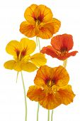 picture of nasturtium  - Studio Shot of Yellow and Orange Colored Nasturtium Flowers Isolated on White Background - JPG