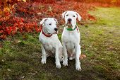Two Dogo Argentino Sitting On Grass In Autumn Park Near Red Leaves. Canine Background poster