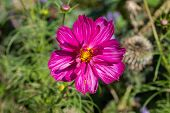 Pink Magenta Cosmos Flower Blossom Among Green Foliage, Close-up Of Opened Petals, Backdrop Wallpape poster